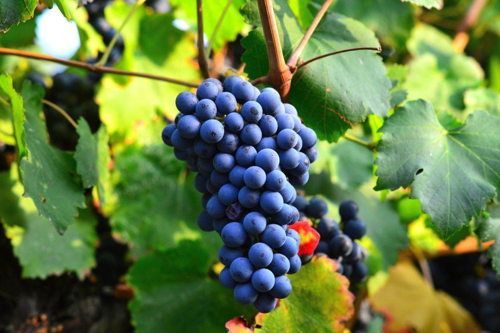 Виноградная лоза - один из символов христианства
